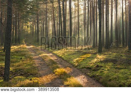 An Autumn, Misty Morning In A Tall Pine Forest.\nit\'s An Autumn Morning. Tall Pine Forest. A Haze R