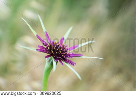 Selective Focus On Star Shaped Purple Wild Flower On Green Blurred Background - Ecology, Environment