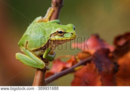 Eastern-european Treefrog - Hyla Arborea Orientalis  Small Tree Frog, Now Recognized As Separate Spe