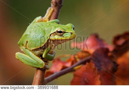 Eastern-european Treefrog - Hyla Arborea Orientalis  Small Tree Frog, Now Recognized As Separate Spe