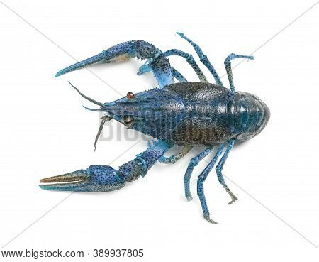 Blue Crayfish Isolated On White, Top View. Freshwater Crustacean