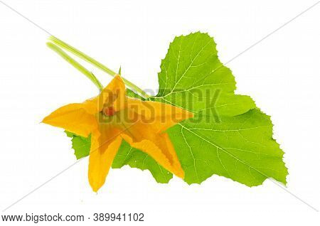 Green Leaf And Yellow Flower Of Pumpkin, Zucchini, Squash On White Background
