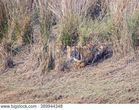 Tiger Cub Crouching Near A Waterhole At Tadoba