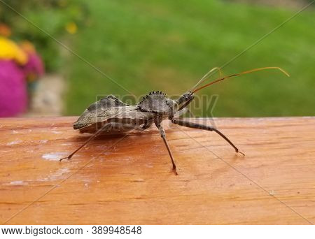 The Wheel Bug , The Largest Terrestrial True Bugs In North America