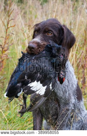 German Wirehaired Pointer Holds A Downed Wildfowl (black Grouse Cock) In Its Teeth During Wildfowlin