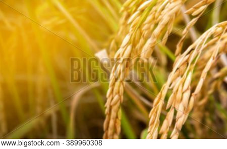 Blurred Rice, Paddy Field, Organic Paddy Rice For Blur Background, Yellow Gold Rice Grain Blurred Ba