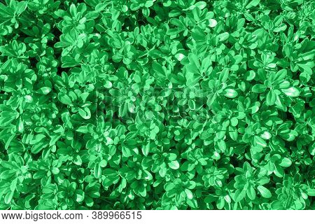 Natural Green Leaves Wall Background. Natural Green Leaf Texture. Foliage Plant Background. Hedge Wa