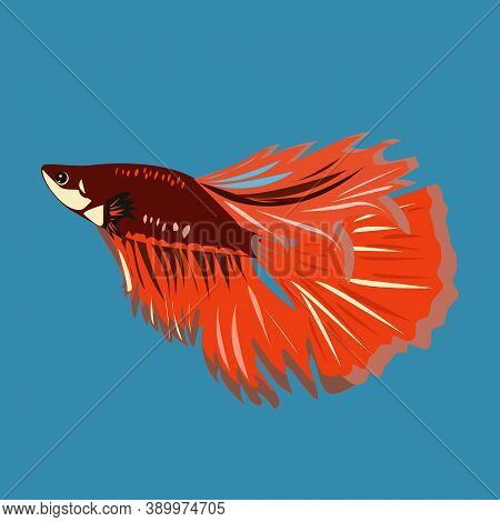Fighting Fish A Brisk Fish From The Macropod Family Is Also Called The Siamese Cockerel