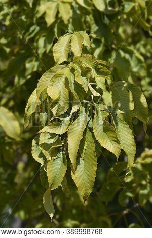 Red Buckeye Leaves - Latin Name - Aesculus Pavia