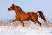 Arabian chestnut horse running in winter poster