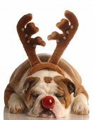 english bulldog dressed as the red nosed reindeer poster