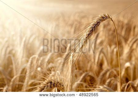 Golden Ear In A Wheat Field