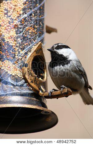 Mountain Chickadee Bird