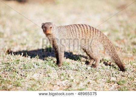 Alert banded mongoose in nature reserve in South Africa poster