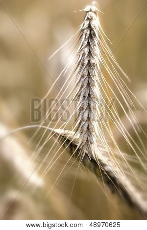 Rye - Secale cereale - ear