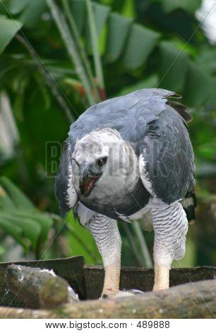 Harpya Harpyja (harpy Eagle)