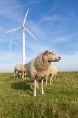 Sheep at a dike along a row of wind turbines poster