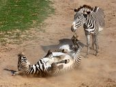 Picture of The Zebra rolling in the dust. Antiparasitic dust bath. poster