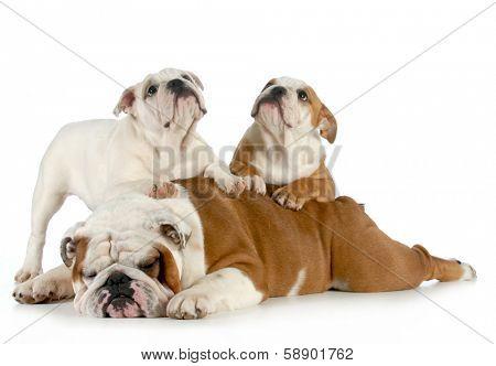 english bulldog family - bulldog father laying down with puppies crawling on him poster