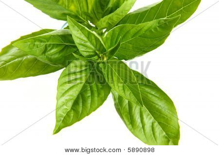 very fresh leaves basil in white background poster