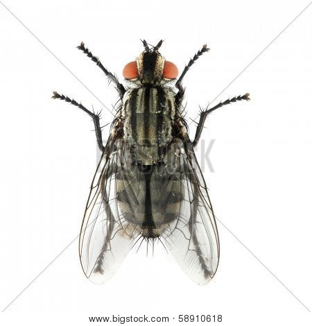 The House Fly ( Musca domestica ) dangerous carrier of pathogens.