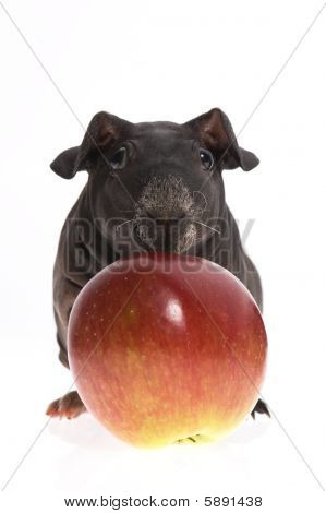 poster of Skinny Guinea Pig And Red Apple On White Background