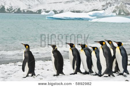 King Penguins In An Icy Bay