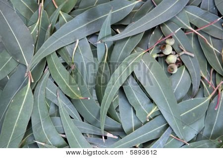 Eucalyptus Leaf Background