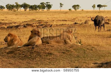 KENYA - AUGUST 9: African Lions (Panthera leo) on the Masai Mara National Reserve safari in southwestern Kenya.
