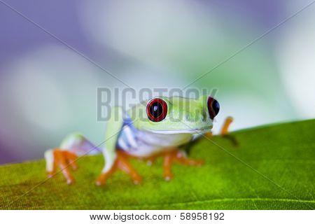 Red eye yree frog on leaf