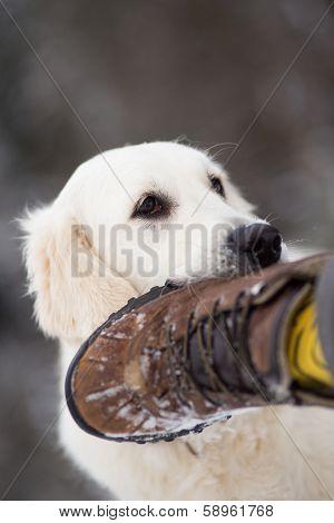Golden Retriever Dog Bites Man`s Foot