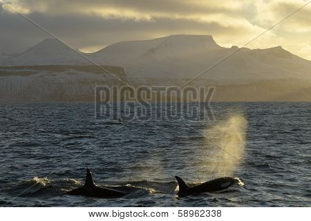 Orca's at sunset.