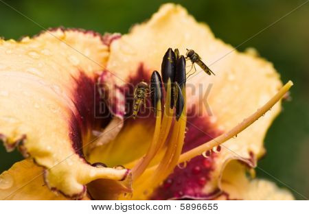 Hover flies getting pollen from day lily flower after rain in summer poster