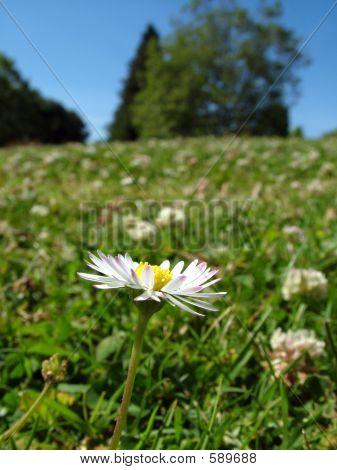 Daisy On A Hill