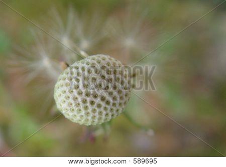 Naked Dandelion