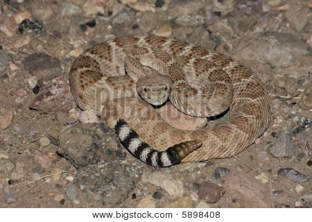 Western Diamondback Rattlesnake (Crotalus atrox) coiled to strike poster