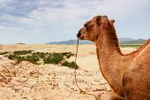 Camel resting on Mongol Sand Dune in central Mongolia poster