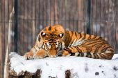 Sleeping  Siberian Tiger in a Zoo. Winter time poster