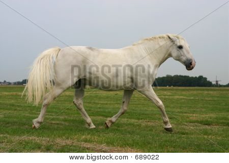 An angry white horse trotting in a green field poster