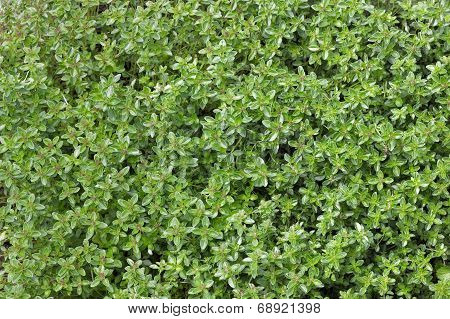 Green Thyme Background