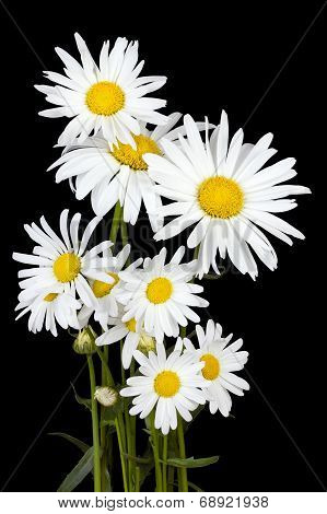 White Daisies For Halloween