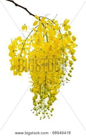 Purging Cassia Or Ratchaphruek Flowers Isolated On White