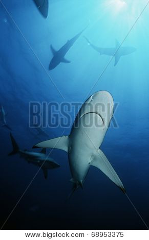 Blacktip sharks (carcharhinus limbatus), underwater view