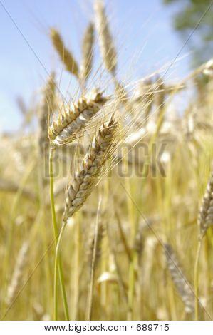 Barley Stocks