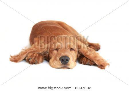 Young English Cocker Spaniel dog1