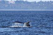 A Humpback Whale on the Washington coast poster