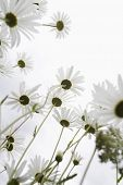 Field of Daisy flowers, low angle view, close up poster
