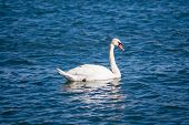 Single mute swan floating on wavy water. poster