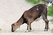 young goat eating green grass on gravel of the farm alley poster