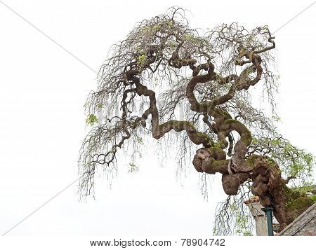 Twisted Tree Isolated On White Background